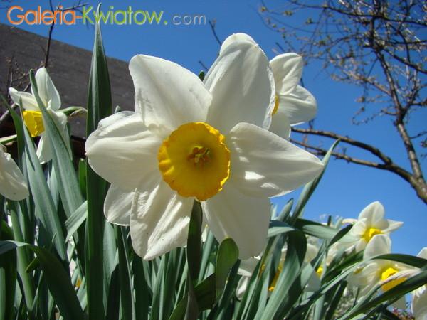 Biały narcyz z żółta trąbką