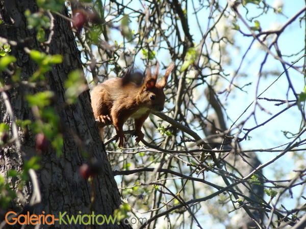 Ruda wiewiórka na drzewie