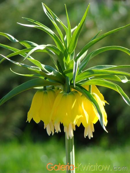Szachownica cesarska żółta