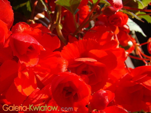 Begonia kwiaty