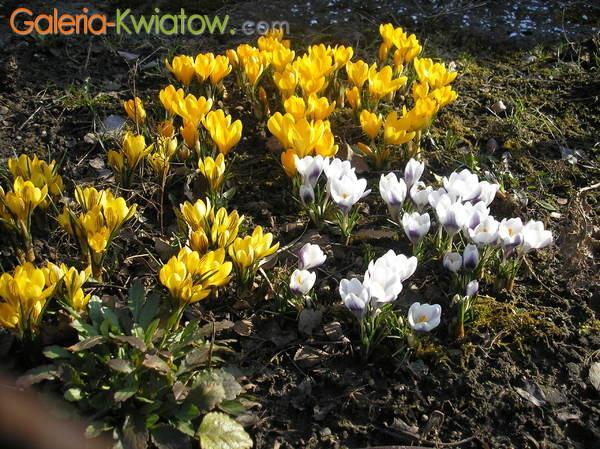 Białe i żółte krokusy