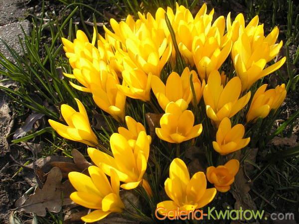 Krokusy kwiatki
