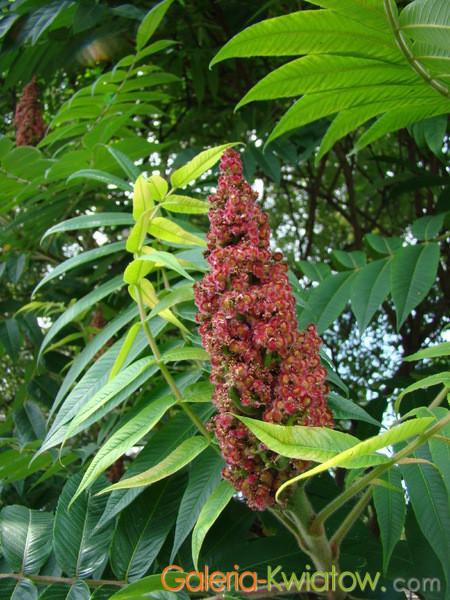 Kwiat sumaka octowca