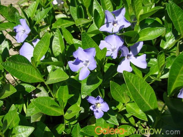 Kwiaty barwinka