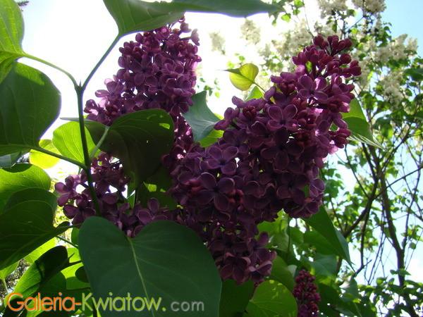 Kwiaty lilaka