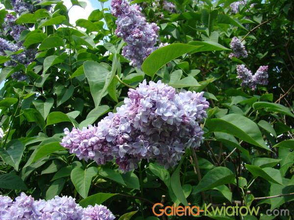 Kwiaty lilaków