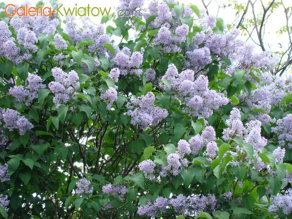 Lilak niebieski