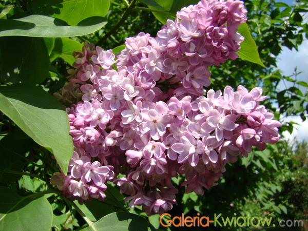 Lilak różowy