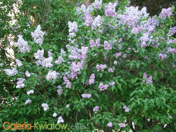 Lilaki fioletowe