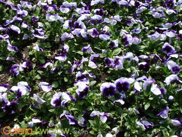 Ogród z fiołkami
