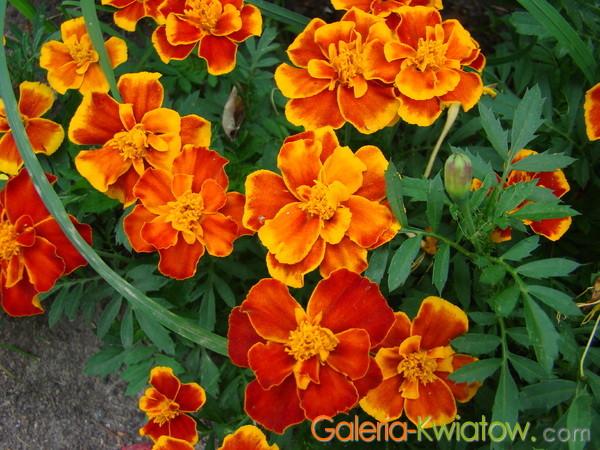 Pomarańczowa aksamitka