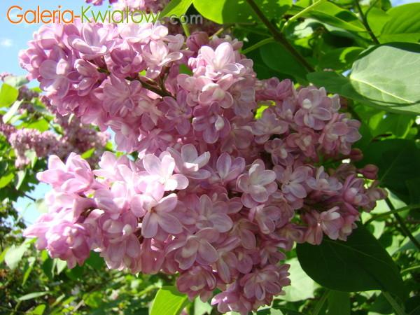 Różowy lilak