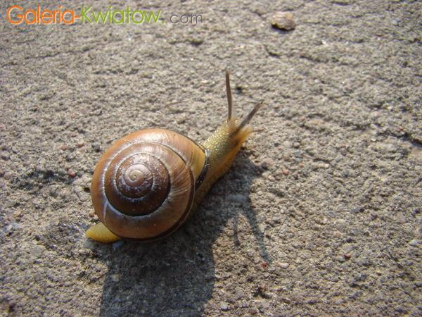 Ślimak, ślimak pokaż rogi