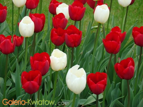 Tulipany białe i czerwone