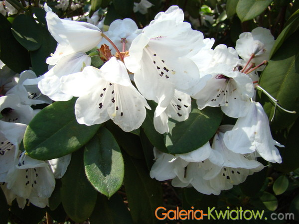 Azalie kwiaty