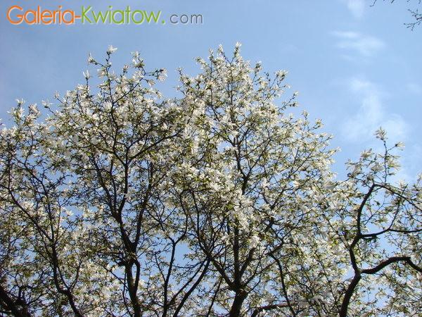 Biała magnolia