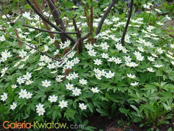Białe kwiaty w lesie