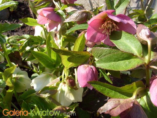 Ciemierniki kwiaty