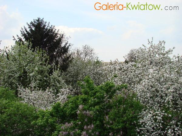 Drzewa kwitnące wiosną