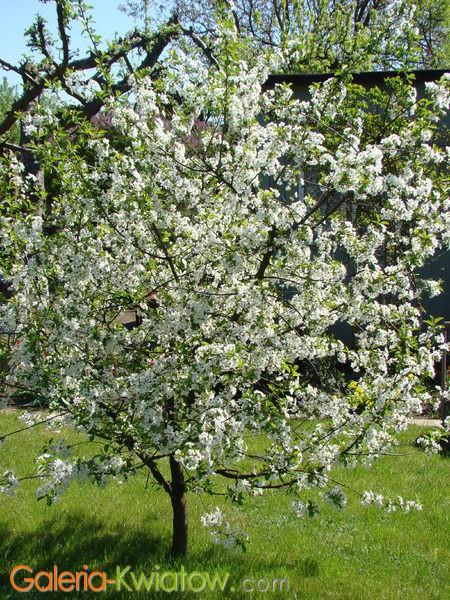 Drzewko wiśnia