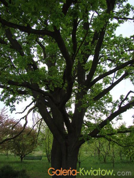 Drzewo dębowe w ogrodzie