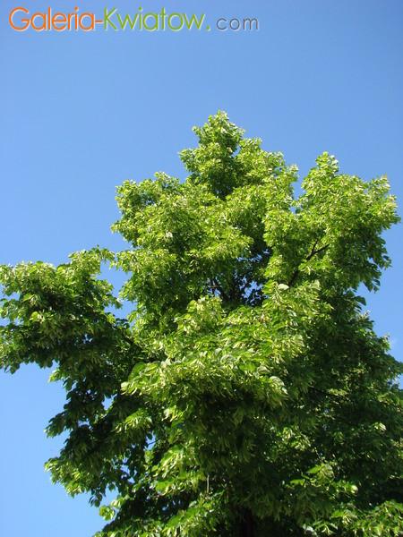 Drzewo lipa