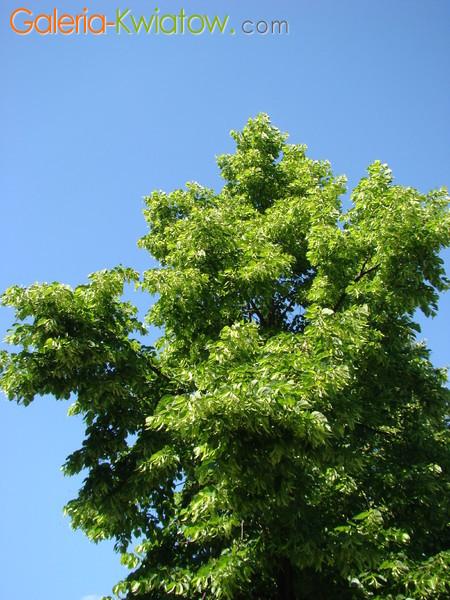 Gałęzie lipowe