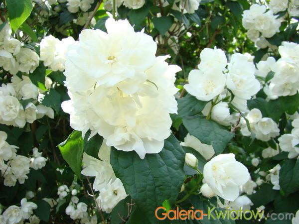 Jaśminowiec kwiat