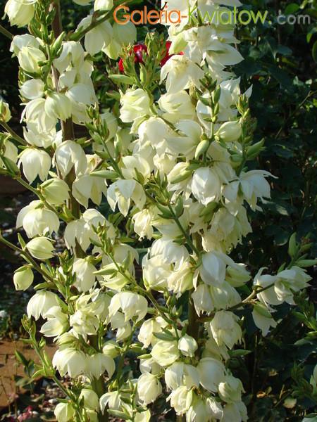 Juka kwiaty