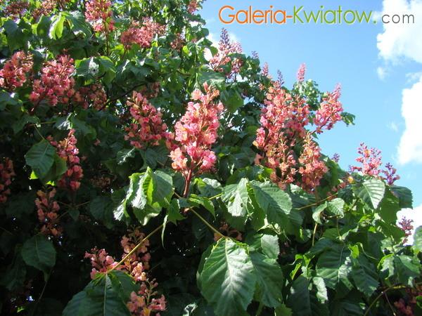 Kasztan o czerwonych kwiatach