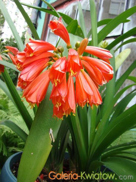 Kliwia kwiat doniczkowy