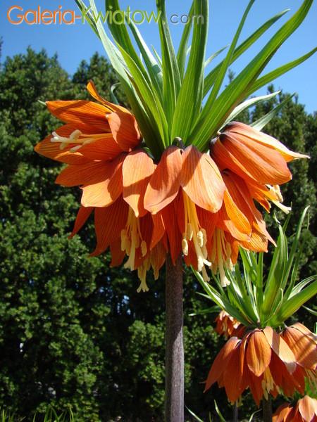 Korona cesarska kwiat