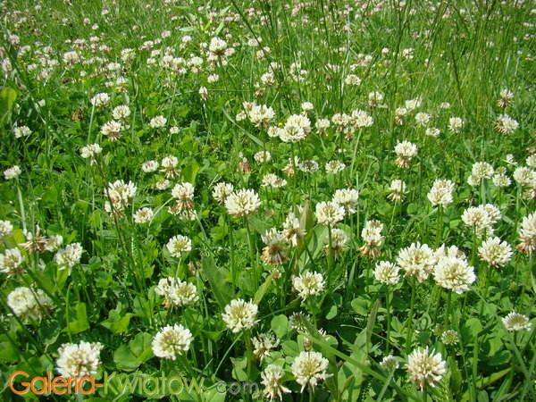 Kwiat koniczyny