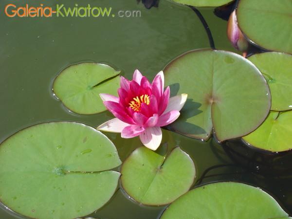 Kwiat lilii wodnej