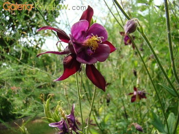 Kwiat orlika