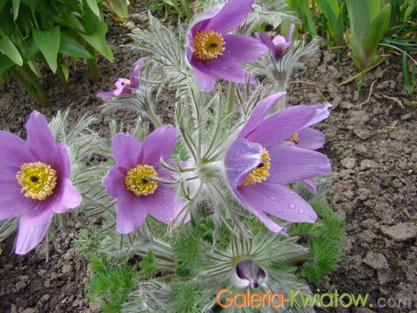 Kwiat sasanki