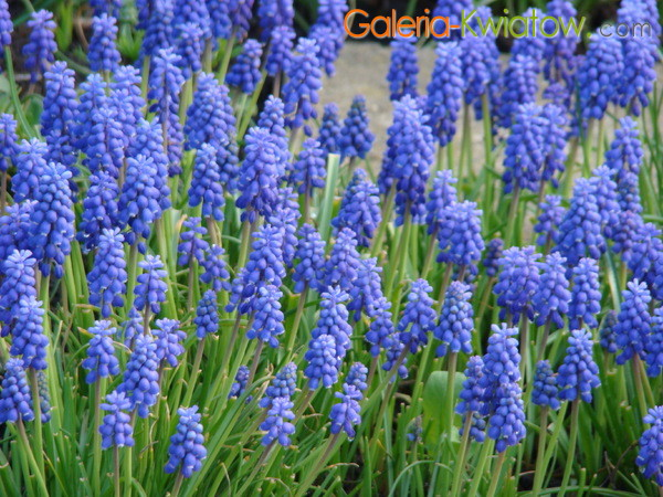 Kwiatek szafirek