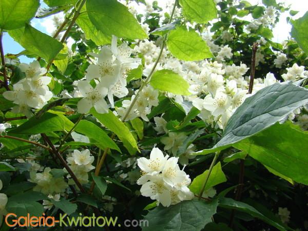 Kwiaty Jaśmina