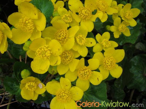 Kwiaty kaczeńca