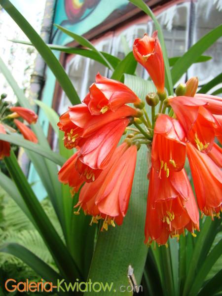 Kwiaty kliwii