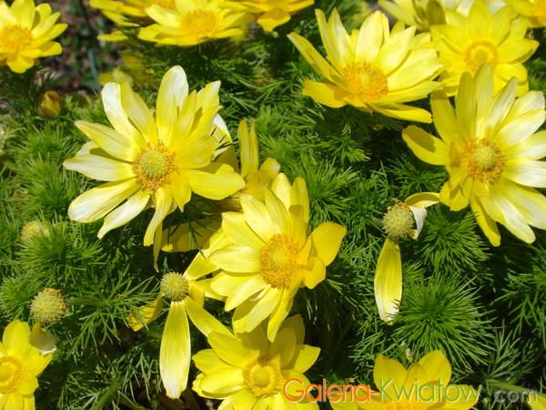 Kwiaty miłka wiosennego