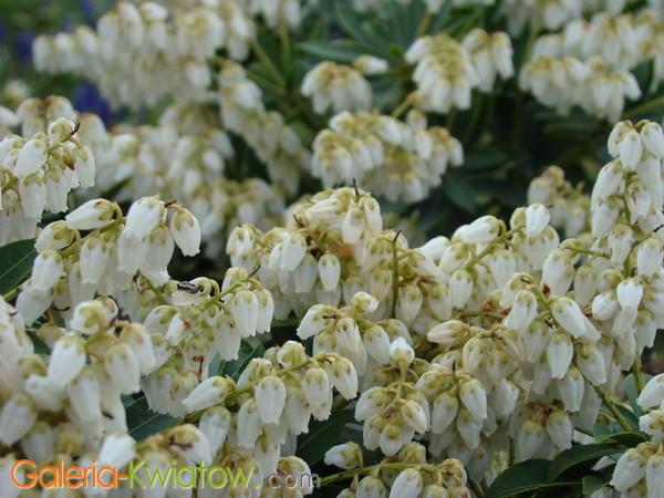 Kwiaty pierisa