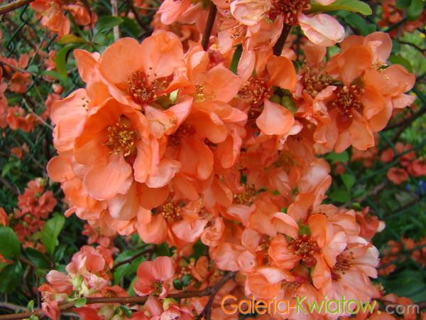 Kwiaty pigwy