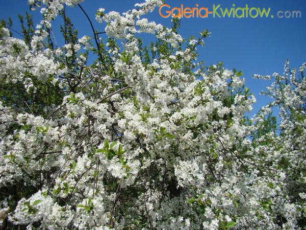 Kwitnąca wiśnia kwiaty