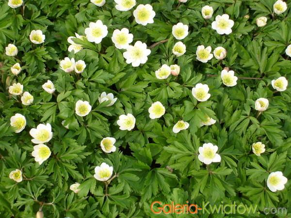 Leśne kwiaty wiosenne