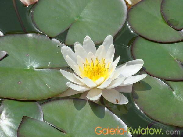 Lilie wodne zdjęcia
