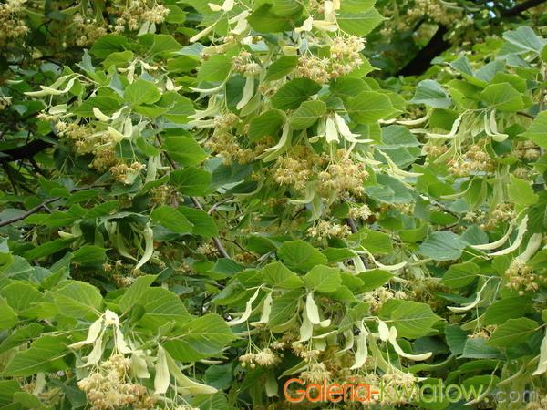 Lipa drobnolistna liście