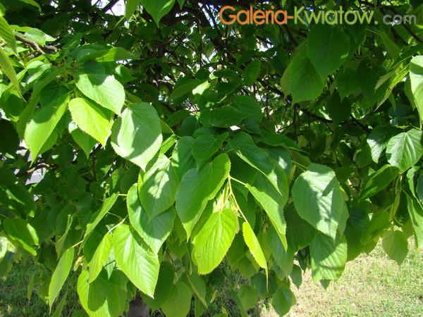 Lipa szerokolistna liście