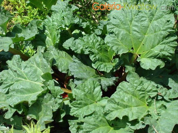 Liście rabarbaru