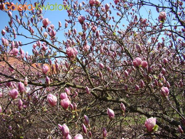Magnolia drzewko